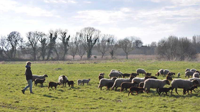 Les moutons d'Emilie